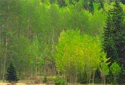 Aspens, Bear Creek and Forester Trails